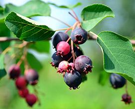 Saskatoon-berry